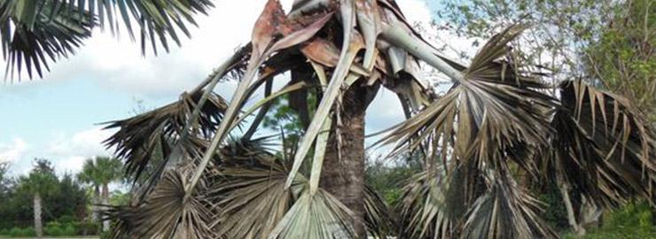 palm weevil damage